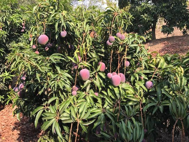 Mango's 2